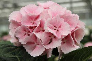 Lollypop rosa