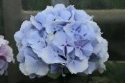 Verena-blau